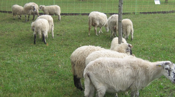 Emma findet andere Schafe